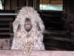 bedlington terrier grooming