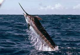 marlin picture