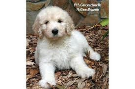 english goldendoodles