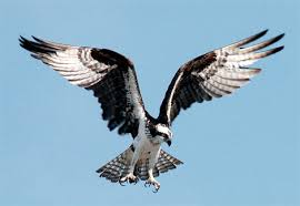 picture of osprey