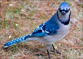 blue jay bird picture