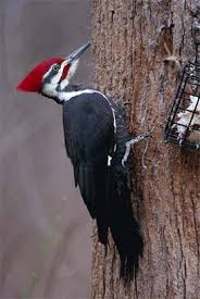 pileated woodpecker pictures