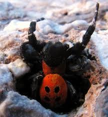 ladybug spider