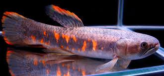 freshwater wolf fish