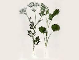 anise herbs