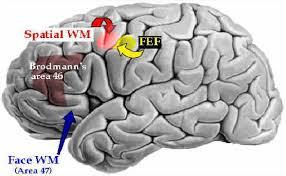 human brain memory