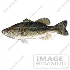 bass fish clipart