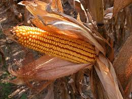 ear of corn picture