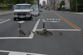large geese