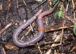 gusanos anelidos