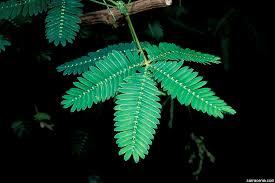 mimosa sensitive plant