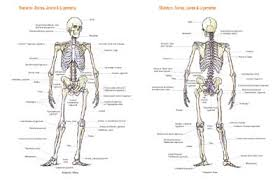 ligaments of the human body