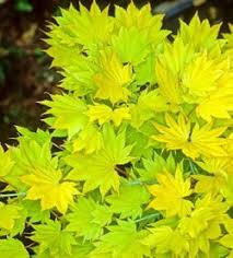 acer maples