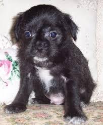black maltese puppy