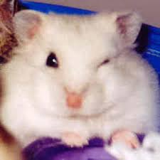 images of hamsters