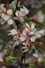 bush cherries