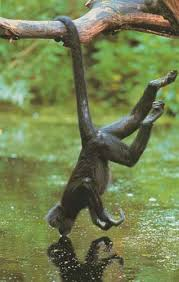 A Spider Monkeys prehensile