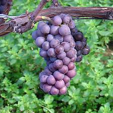 pinot grigio grape