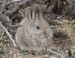 external image pygmy-rabbit.jpg