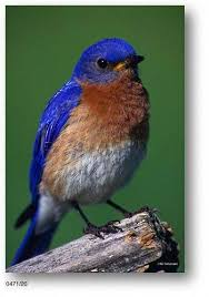 bluebirds pictures