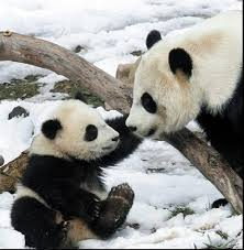 baby giant panda pictures