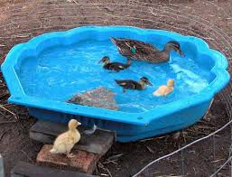 backyard duck pond