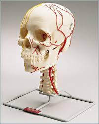 neurovascular anatomy