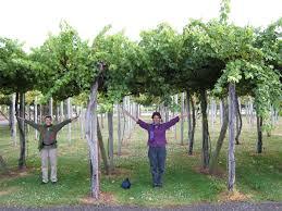 grape trellises
