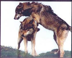 great wolves