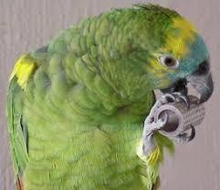 amazon parrots pictures