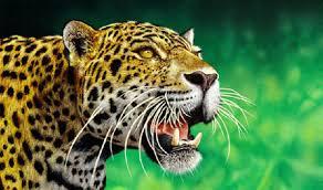 rainforest cheetahs