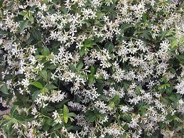 groundcover shrubs