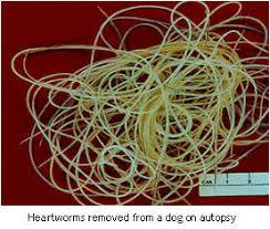 heart worm in dogs