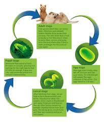 fleas and mites