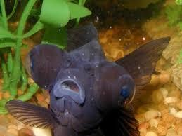 freshwater fish for fish tanks