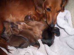 chiweenie puppies for sale