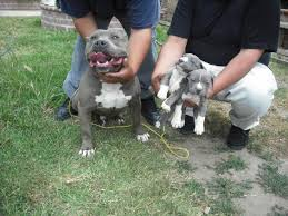 big blue pitbulls