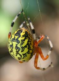 black spider with orange spots