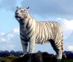 info on white tigers