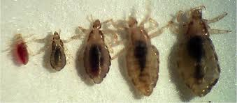 pictures of lice