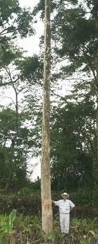 pohon nilam