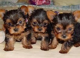 yorkie puppies breeders