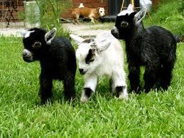photos of goats
