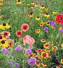 midwest wildflowers