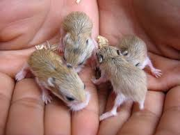 baby hamsters pictures