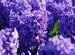 purple flower bulbs