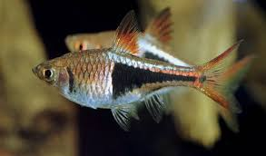 cold water tropical fish
