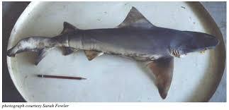 river sharks