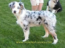 blue merle australian shepherds
