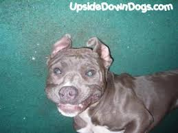 blue pit bull terriers